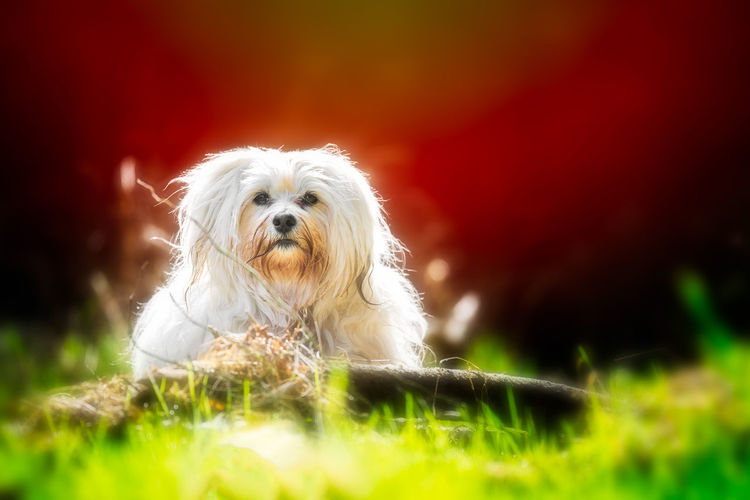 Animal Animal Hair Animal Themes Canine Cute Dog Domestic Domestic Animals Grass Lap Dog Looking At Camera Mammal No People One Animal Pets Plant Portrait Purebred Dog Selective Focus Shih Tzu Small Vertebrate