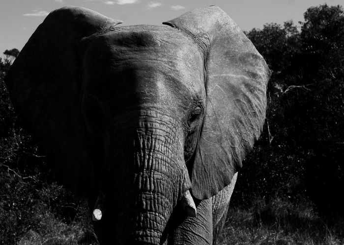 Elephant Animal Themes Mammal Animal Animal Wildlife Tree One Animal Animals In The Wild Safari Nature First Eyeem Photo
