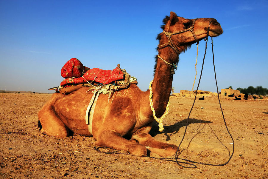 Canon Camel Desert India Jaisalmer People Rajasthan Tourism Touristic Destination Travel Travel Destinations Travel Photography
