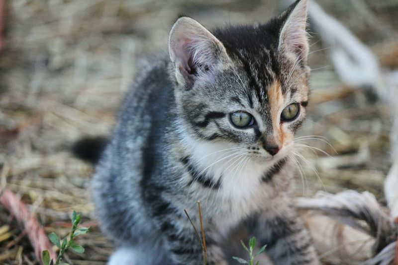 Beautiful Kitty Kitten Chimera Farm
