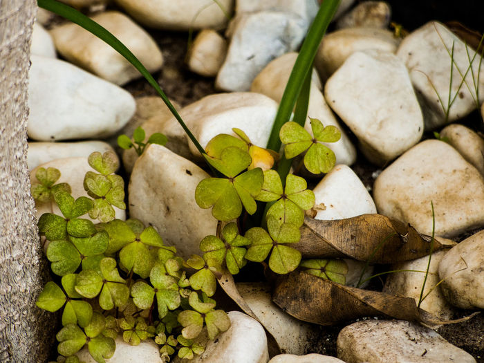 Close-up of clover leaves amidst marble stones