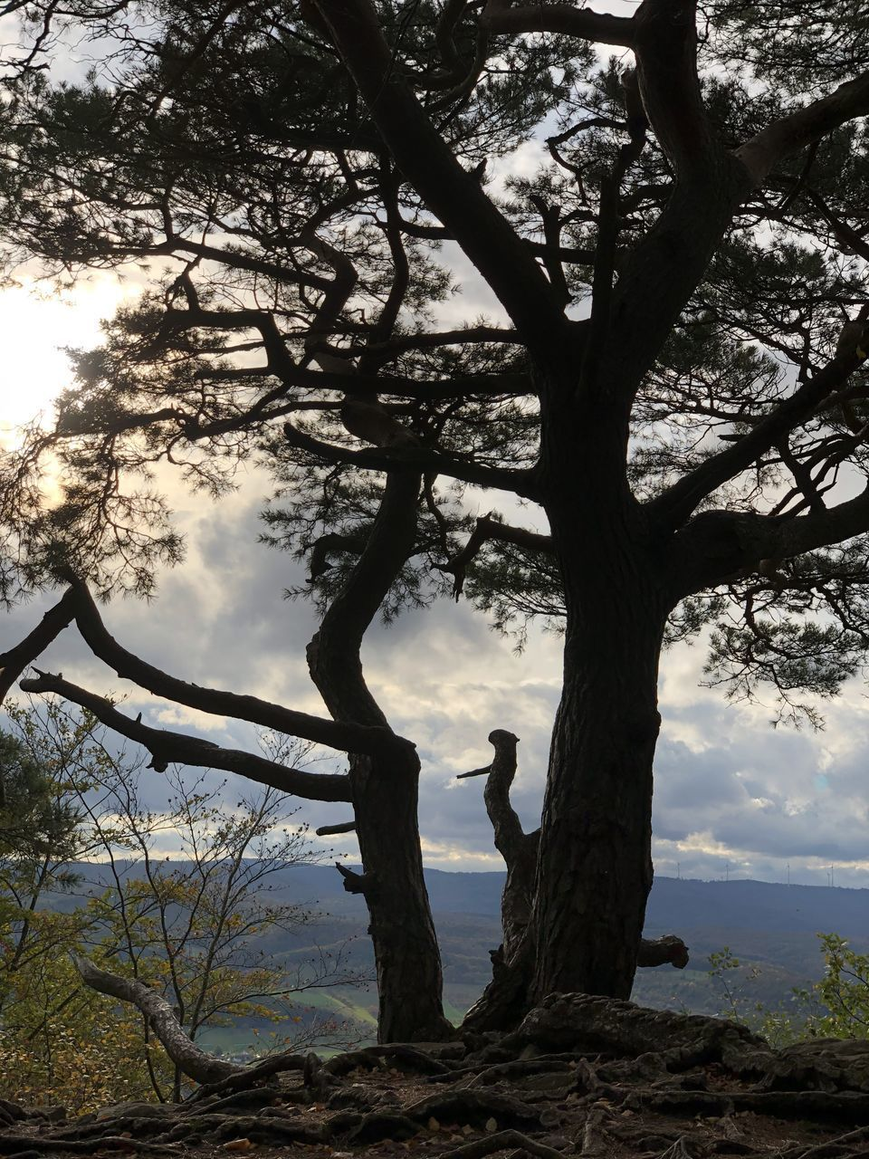 tree, plant, sky, tree trunk, trunk, beauty in nature, cloud - sky, branch, nature, tranquility, growth, scenics - nature, tranquil scene, outdoors, day, land, low angle view, leisure activity, silhouette, non-urban scene