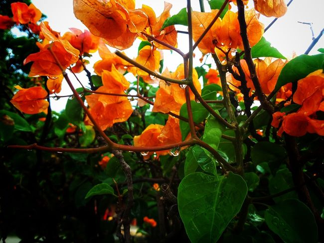 Fruit Growth Nature Leaf Tree Orange Color Beauty In Nature Freshness Outdoors Day No People Low Angle View Green Color Plant Flower Branch Close-up Food Sky Fragility
