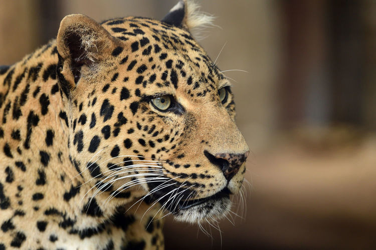 Head shot of a leopard