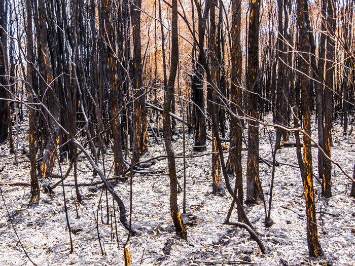 Ash Bare Tree Beauty In Nature Branch Burnt Bushfire Cold Temperature Day Dried Plant Forest Forest Fire Ice Landscape Nature No People Outdoors Snow Tree Weather Winter