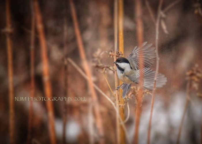 Chickadee Bird wings flight lucky shot!