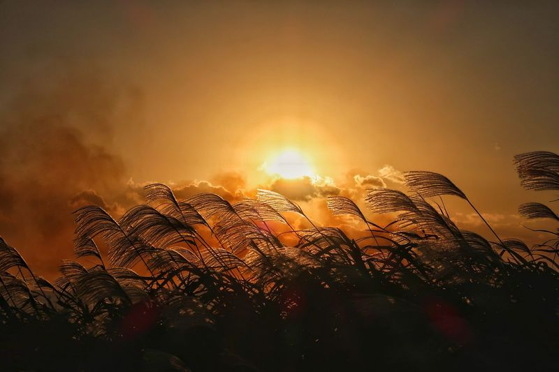 芒塚 すすき すすき 夕陽 夕日 Sunset Nature Beauty In Nature No People Sky Silhouette Sun Outdoors Day Sunbeam Lens Flare EyeEm Nature Lover Beautiful Nature Naturelovers 太陽 秋空 🍁🍂autumn 秋 Autumn EyeEmNewHere