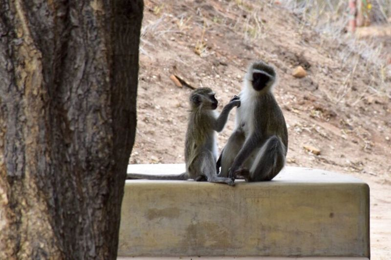 One of my favorite scenes from our safari. Animal Love Animals In The Wild Wildlife Zoology Nature No People Kruger Park Getty Images Nationalgeographic Parenting Tenderness Monkey