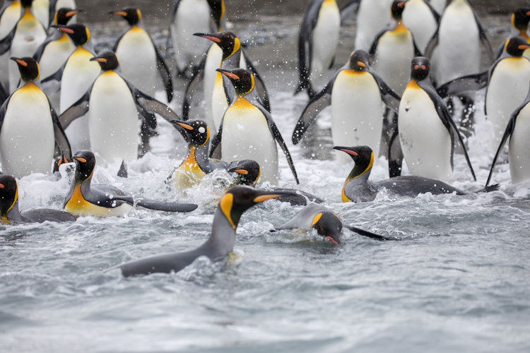 Penguins In Sea