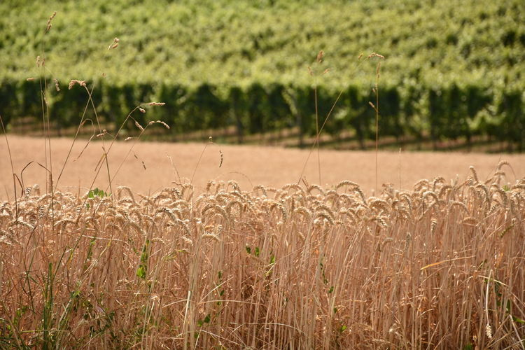 Landscape in Maastricht Agriculture Beauty In Nature Cereal Plant Crop  Day Environment Farm Field Focus On Foreground Growth Land Landscape Nature No People Outdoors Plant Plantation Rural Scene Scenics - Nature Stalk Tranquil Scene Tranquility Wheat