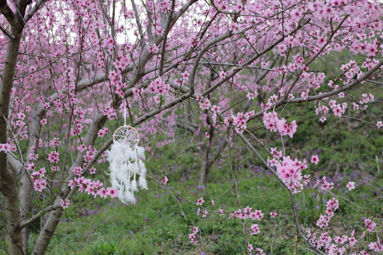 Pink cherry blossoms in spring