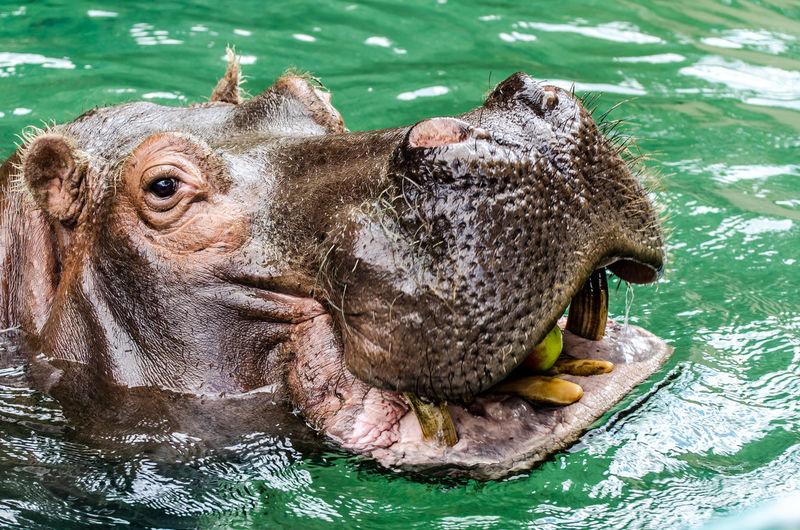 Hippo - Zoo Frankfurt Hippo Hippopotamus Animal Themes Animal One Animal Animal Wildlife Water Animal Body Part No People Animal Head  Nature Swimming Day Close-up Underwater Mouth Open Zoo Animal Mouth Zoo Zoofrankfurt