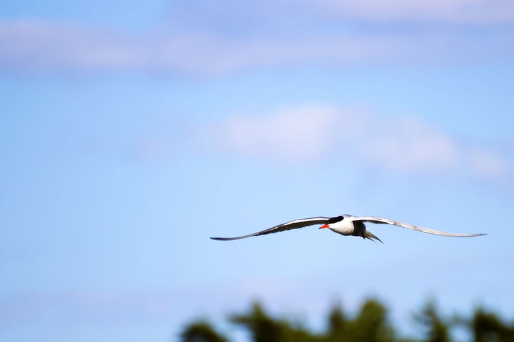 Low Angle View Of Tern Flying In Sky