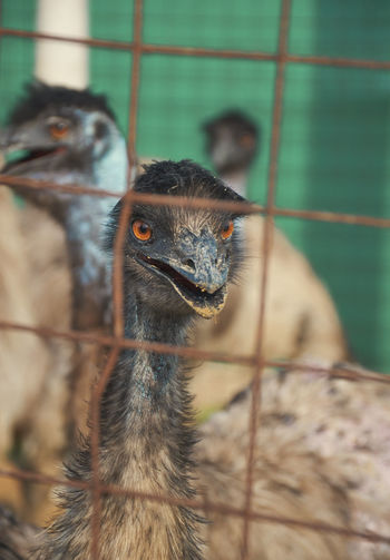 An emu bird looking though cages in a poultry farm.