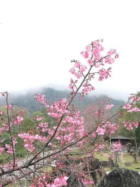 Flower Pink Color Nature Beauty In Nature Blossom Plant Red Sky Outdoors Close-up No People Day Sunset Tree Fragility Freshness Flower Head