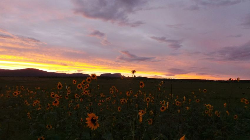 Beautiful dusk colors Hermits peak in the middle of the sunflowers Sunset Newmexicosunsets Newmexicoskies Newmexicosunset New Mexico True Newmexicoskys Newmexicophotography Newmexicomountain NewMexicoTRUE New Mexico, USA Hermitspeak Flower Sumflower Dramatic Sky Beauty In Nature Cloud - Sky Tranquil Scene Backgrounds Mountain Outdoors Multi Colored Dusk Sky Be. Ready.