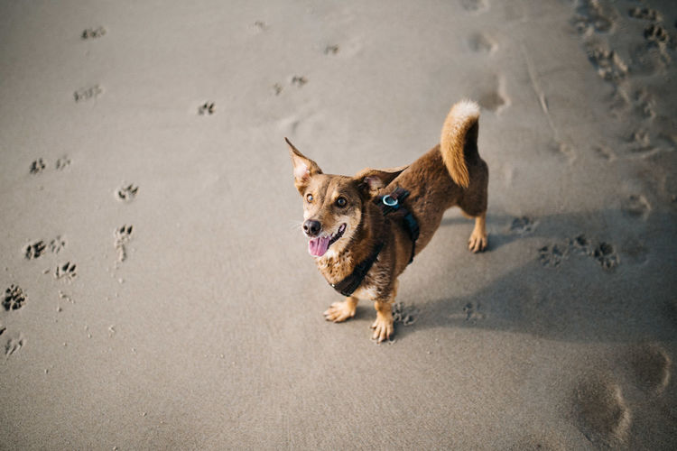 High angle view of dog running on beach
