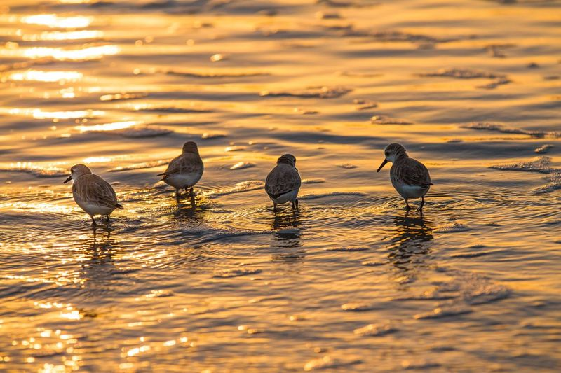 Sandpipers @