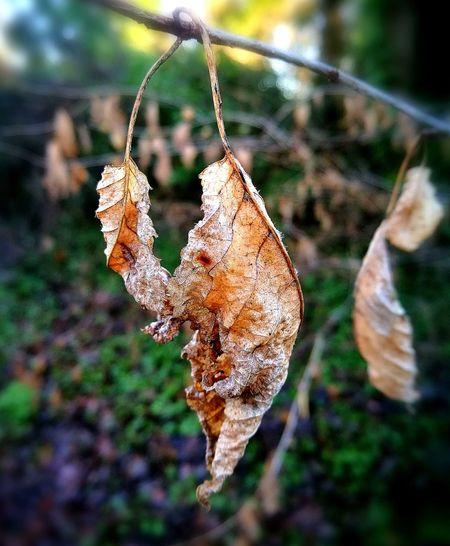 Crisp leaf.