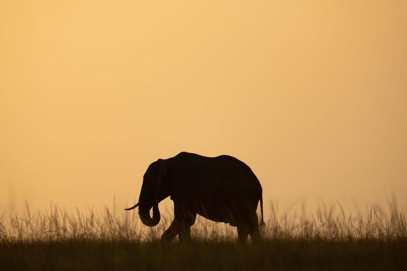 African bush elephant eating grass on horizon