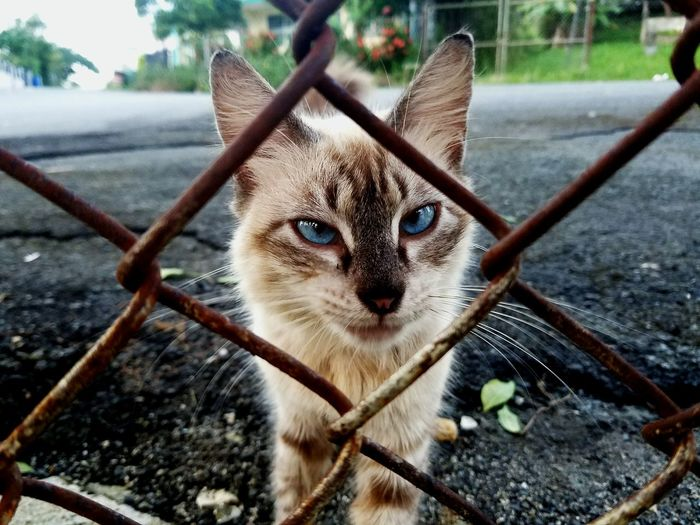 Looking At Camera One Animal Portrait Animal Themes Domestic Cat Feline No People Domestic Animals Nature Close-up Day Pets Outdoors Puerto Rico Samsung Galaxy S7 Focus On Foreground Metal Fence Blue Eyes Cat Cat Eyes Feline Friend Feline Photography My Year My View