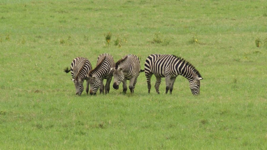 Cebras alimentándose en el Parque Nacional de Arusha Zebras feeding themselves in Arusha NP Animales Animals In The Wild Eating Tanzania Tanzanianationalparks Africa African Beauty African Safari African Safari Wildlife Park Animal Themes Animal Wildlife Animals Feeding Animals In The Wild Arusha Cesped Field Grass Green Color Lake Manyara Mammal Nature Safari Safari Animals Safari Park Zebra
