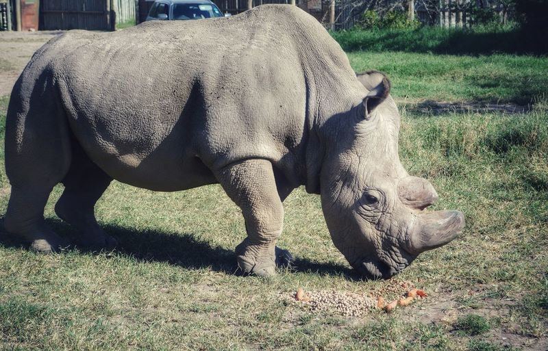 RIP Sudan, our planet's LAST male Northern White Rhino. Let's hope the world learns from this and takes every measure to end all trade in rhino horns. Saveourrhinos Saveourplanet Safari Animals Rhinoceros Kenya