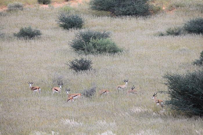 Kalahari desert, Namibia Abundance Animal In Wild Antelope Attentively Attentiveness Elevated View Grassy Group Of Animals Impala Kalahari Kalahari Desert Landscape Mammal The Great Outdoors - 2016 EyeEm Awards The Week On EyeEm Tranquility Wilderness Wildlife