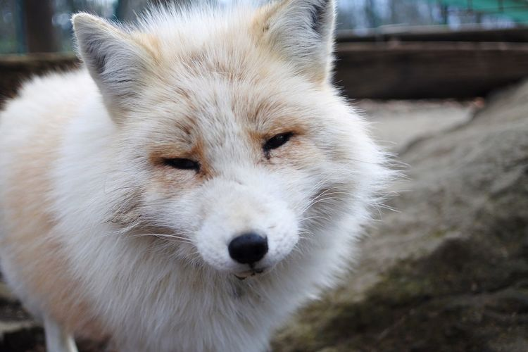 キツネ村 Fox Mammal One Animal Animal Themes Domestic Animals White Color Pets Focus On Foreground No People Outdoors Close-up Animals In The Wild Looking At Camera