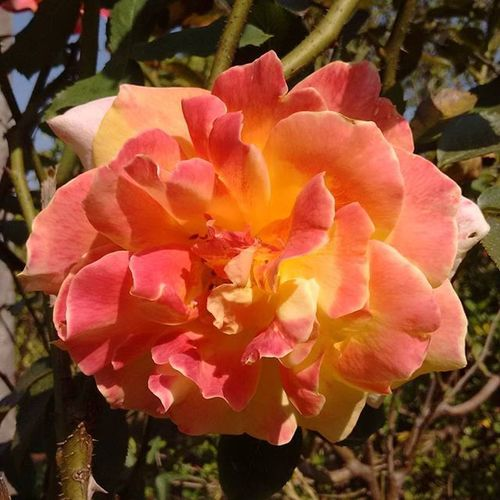 Rose... Rosé Flower Photographer Natural Beautifull Love India ASIA Roses Flowerstagram Flowersofinstagram Instaflower Picoftheday Photooftheday Pic Traveler Instalike Instalove Instagood Instafollow Like4follow Likeforlike World Earthlife Earth instagram natgeotravel natgeo