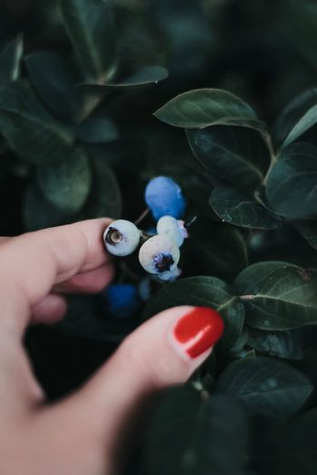 Cropped Hand Of Woman Touching Blueberries Growing On Plant