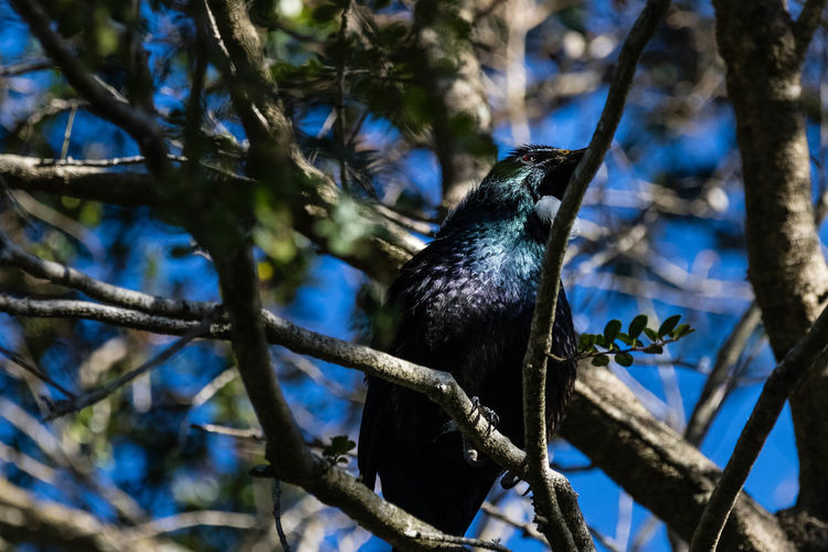 Tui are boisterous, medium-sized, common and widespread bird of forest and suburbia – unless you live in Canterbury. They look black from a distance, but in good light tui have a blue, green and bronze iridescent sheen, and distinctive white throat tufts (poi). They are usually very vocal, with a complicated mix of tuneful notes interspersed with coughs, grunts and wheezes. http://nzbirdsonline.org.nz/species/tui Bird Tree Animal Wildlife Nature Black Color Tui Perching EyeEm Nature Lover