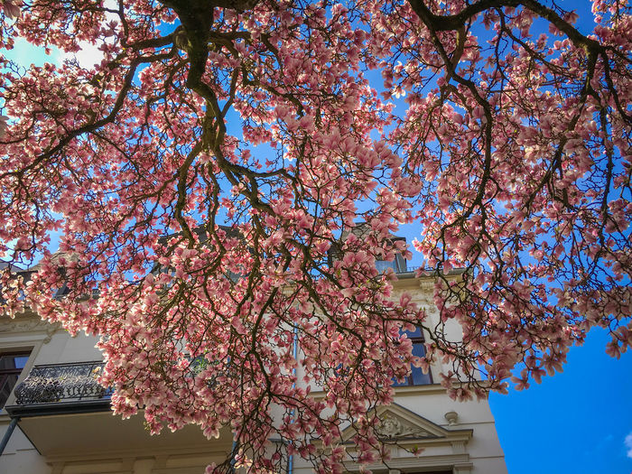 Beautiful magnolia tree in full bloom in front of a blue sky Tree Low Angle View Plant Flowering Plant Flower Architecture Growth Branch Built Structure Nature Building Exterior Blossom Sky Building Fragility Springtime Pink Color Day Freshness Beauty In Nature No People Outdoors Change Magnolia Magnolia Tree