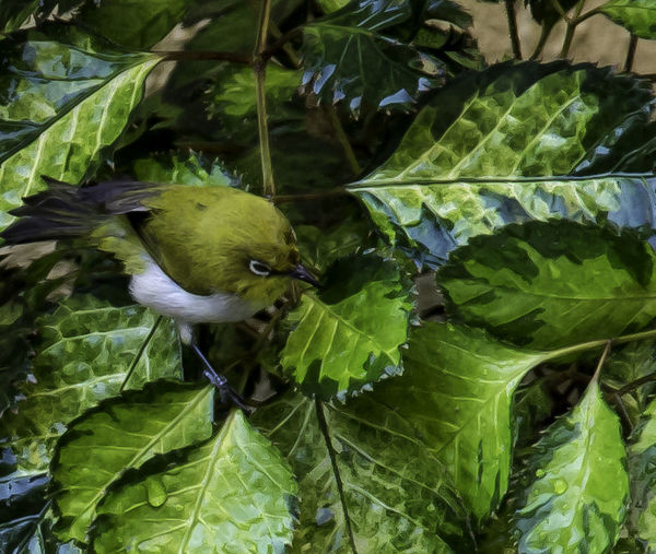 Oriental White Eye F/∞ Beauty In Nature Bird Photography Birds Birds Of EyeEm  Day F/∞ Focus On Foreground Green Green Color Growth Leaf Leaves Lush Foliage Nature Oriental White Eye Outdoors Photography Plant Selective Focus Shuttercrazy My Commute My Commute-2016 EyeEm Photography Awards SohilLaadPhotography Srlaadphotography