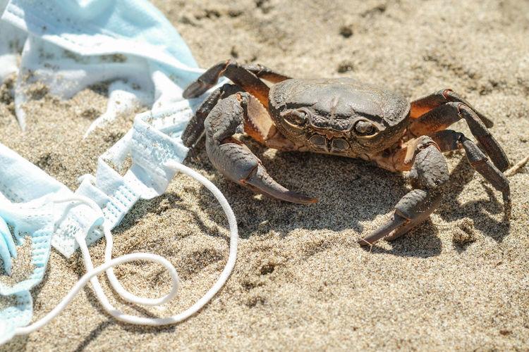 Sea crab on discarded waste pollution,covid-19 disease.contaminated ecosystem,coronavirus garbage