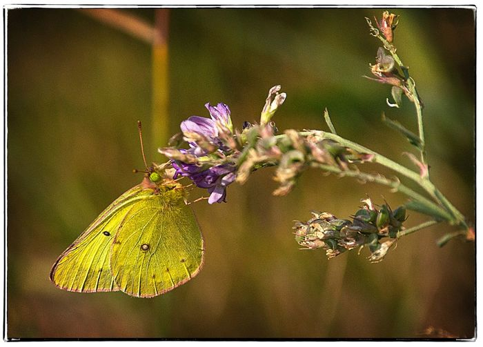 Yellow moth on