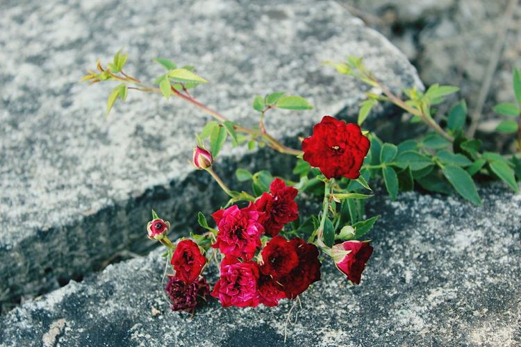 Close-up of red flowering plant on rock
