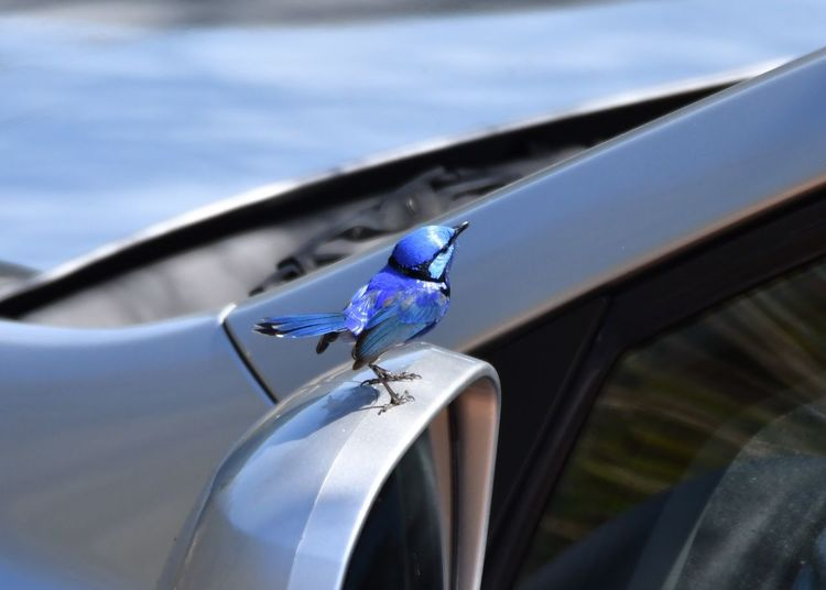 Blue Wren Animal One Animal Animal Themes Invertebrate Insect Animal Wildlife Animals In The Wild Car Motor Vehicle Mode Of Transportation Close-up Transportation Land Vehicle Day Glass - Material Animal Wing No People Window Focus On Foreground Nature