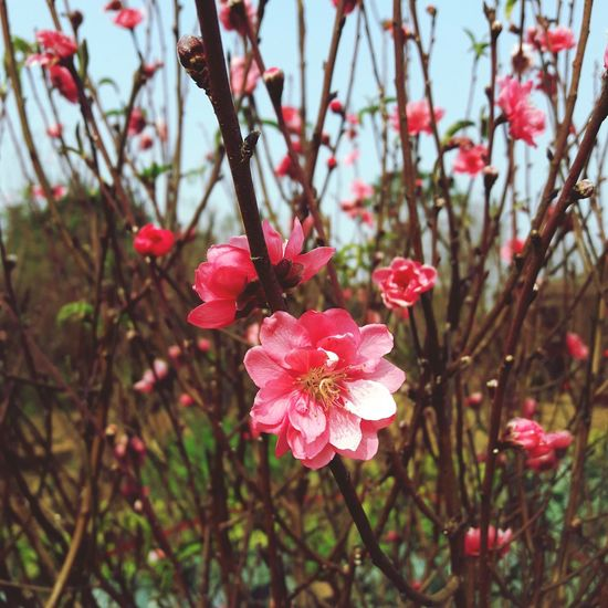 i miss spring Peach Blossom Beauty In Nature Flowers Flower Head Tree Flower Branch Springtime Pink Color Petal Blossom Plum Blossom Twig In Bloom Plant Life