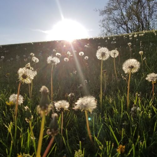 spring #wishes Flower Head Flower Sunset Sun Uncultivated Springtime Close-up Grass Plant Dandelion Seed Softness Dandelion Plant Life Wildflower Blossom Stem In Bloom