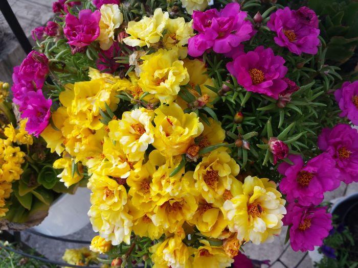 43 Golden Moments Pretty Flowers Flowers Yellowgold Goldyellow Showcase August Ladyphotographerofthemonth Pink And Yellow Blumenpracht Sommerblumen Topfblume  Colour Of Life Portulakröschen