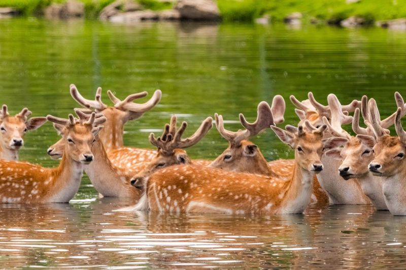 The male fawns.