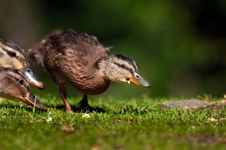 Close-up of duck on grass