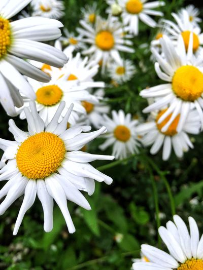 Daisy Weeds Are Beautiful Too Walking Around Excercising Taking Photos Check This Out