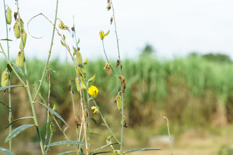 Close-up of yellow flowering plant on field