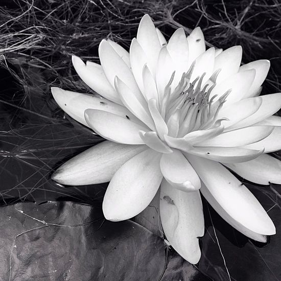 Nature On Your Doorstep Water Lily NEM Black&white Blackandwhite