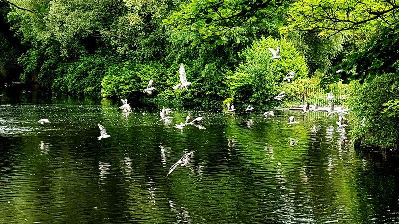 Dublin St. Stephens Green Pond Birds