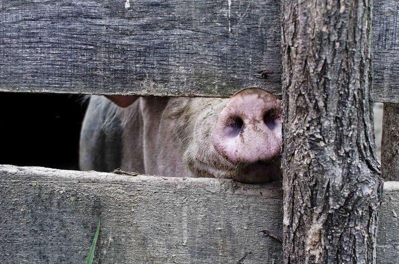 Pig's Snout