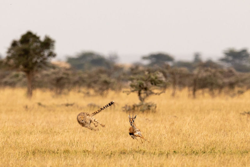 Acinonyx Jubatus Cheetah Gazelle Kicheche Nature Tanzania Travel Africa Animal Animal Themes Animal Wildlife Animals In The Wild Chase Cheetah Day Environment Field Focus On Foreground Grass Hunt Kill Landscape Mammal Motion Nature No People One Animal Outdoors Plant Tree Vertebrate Wild Wildlife
