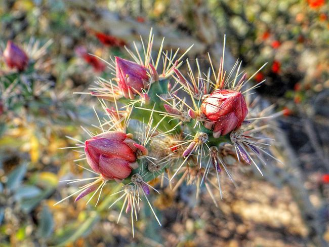 Cactus wildflowers. Cactus Thorn Spiked Nature Growth No People Close-up Focus On Foreground Day Plant Outdoors Green Color Red Beauty In Nature Needle Freshness Cactus Flowers Cactus Flower Buds Cactus Thorns Cacti Pink Color Pink Flower Pink Flower Buds Pink Cactus Flowers The Great Outdoors - 2017 EyeEm Awards EyeEmNewHere